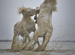 grey-heron-1058-camargue-copyright-photographers-on-safari-com