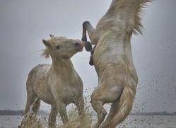 grey-heron-1059-camargue-copyright-photographers-on-safari-com