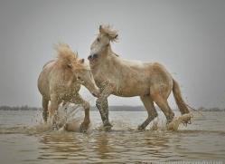 grey-heron-1060-camargue-copyright-photographers-on-safari-com