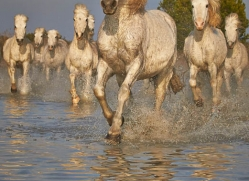 grey-heron-1066-camargue-copyright-photographers-on-safari-com