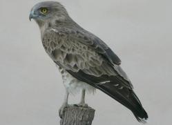 short-toed-snake-eagle-1117-camargue-copyright-photographers-on-safari-com.jpg