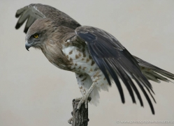 short-toed-snake-eagle-1118-camargue-copyright-photographers-on-safari-com.jpg