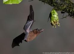 Long-tongued-nectar-bat-copyright-photographers-on-safari-com-6616