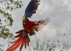 Scarlet-Macaw-copyright-photographers-on-safari-com-6689