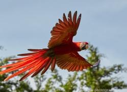 Scarlet-Macaw-copyright-photographers-on-safari-com-6701