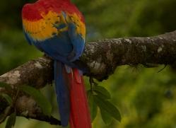 Scarlet-Macaw-copyright-photographers-on-safari-com-6711