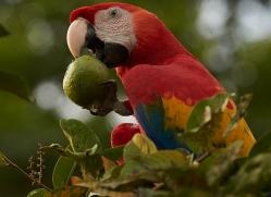 Scarlet-Macaw-copyright-photographers-on-safari-com-6717