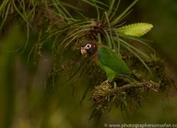 brown-hooded-parrot-copyright-photographers-on-safari-com-6685