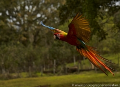 great-green-macaw-copyright-photographers-on-safari-com-6622