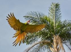 great-green-macaw-copyright-photographers-on-safari-com-6632