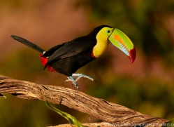 keel-billed-toucan-copyright-photographers-on-safari-com-6638