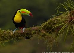 keel-billed-toucan-copyright-photographers-on-safari-com-6657