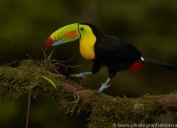 keel-billed-toucan-copyright-photographers-on-safari-com-6659