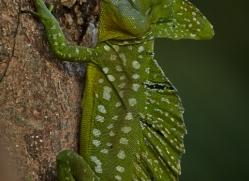 Emerald Basilisk Lizard 2014 -1copyright-photographers-on-safari-com