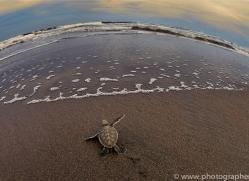 Turtle 2014 -6copyright-photographers-on-safari-com