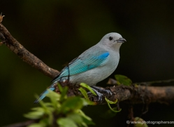 blue-gray-tanager-male-5275-copyright-photographers-on-safari-com