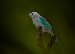 blue-gray-tanager-male-5276-copyright-photographers-on-safari-com