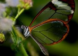 butterfly-costa-rica-5151-copyright-photographers-on-safari-com