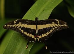 butterfly-costa-rica-5158-copyright-photographers-on-safari-com