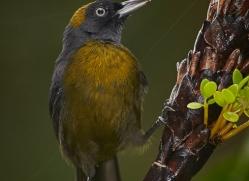 dusky-faced-tanager-5318-copyright-photographers-on-safari-com