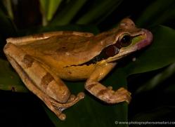 frog-costa-rica-5265-copyright-photographers-on-safari-com