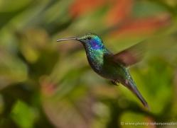 hummingbird-5135-copyright-photographers-on-safari-com