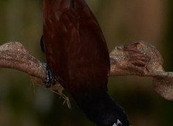 montezuma-oropendola-5294-copyright-photographers-on-safari-com