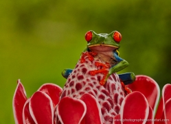 red-eyed-leaf-frog-5047-copyright-photographers-on-safari-com