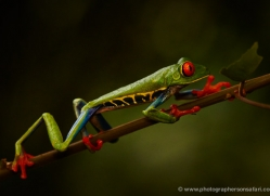 red-eyed-leaf-frog-5067-copyright-photographers-on-safari-com
