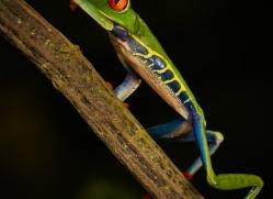 red-eyed-leaf-frog-5068-copyright-photographers-on-safari-com