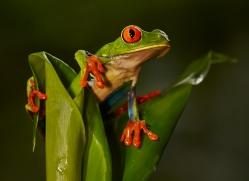 red-eyed-leaf-frog-5069-copyright-photographers-on-safari-com