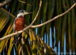 ringed-kingfisher-5194-copyright-photographers-on-safari-com
