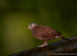 ruddy-ground-dove-5305-copyright-photographers-on-safari-com