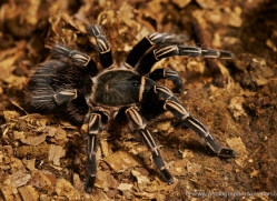 tarantula-5143-copyright-photographers-on-safari-com