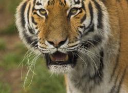 amur-tiger-4061-dartmoor-copyright-photographers-on-safari-com
