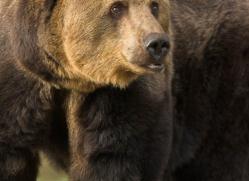 brown-bear-european-4032-dartmoor-copyright-photographers-on-safari-com