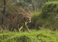cheetah-3956-dartmoor-copyright-photographers-on-safari-com
