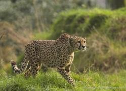 cheetah-3958-dartmoor-copyright-photographers-on-safari-com