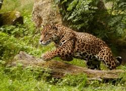 jaguar-3984-dartmoor-copyright-photographers-on-safari-com