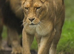 lion-4055-dartmoor-copyright-photographers-on-safari-com