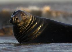 seal-donna-nook-100-copyright-photographers-on-safari-com