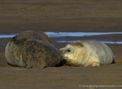 seal-donna-nook-147-copyright-photographers-on-safari-com