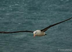 black-browed-albatross-falkland-islands-4945-copyright-photographers-on-safari-com