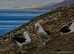 black-browed-albatross-falkland-islands-4952-copyright-photographers-on-safari-com