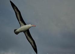 black-browed-albatross-falkland-islands-4953-copyright-photographers-on-safari-com