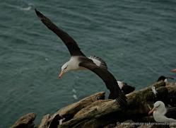 black-browed-albatross-falkland-islands-4956-copyright-photographers-on-safari-com