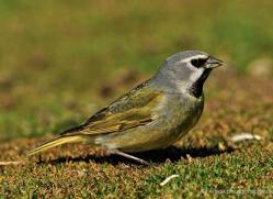 black-throated-finch-falkland-islands-4981-copyright-photographers-on-safari-com