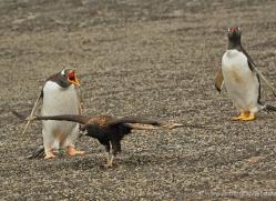 caracara-falkland-islands-4959-copyright-photographers-on-safari-com