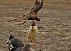 caracara-falkland-islands-4960-copyright-photographers-on-safari-com