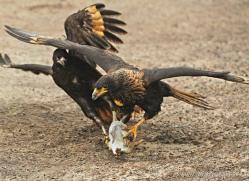 caracara-falkland-islands-4962-copyright-photographers-on-safari-com